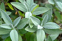 Fresh Sage (Salvia) growing