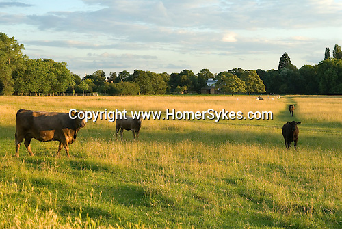 Petersham Meadows Richmond upon Thames UK.Woman walking through meadow stops to stroke a cow. Cows cattle grazing on National Trust Land.
