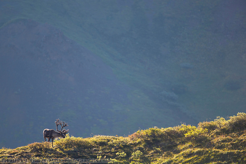 Bull caribou grazes on a ridge in Denali National Park, Alaska.