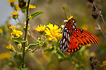 Butterfly Red on a Yellow Flower Folly Beach South Carolina