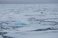 Polar bear (Ursus maritimus) walking on sea ice, Svalbard, Norway.