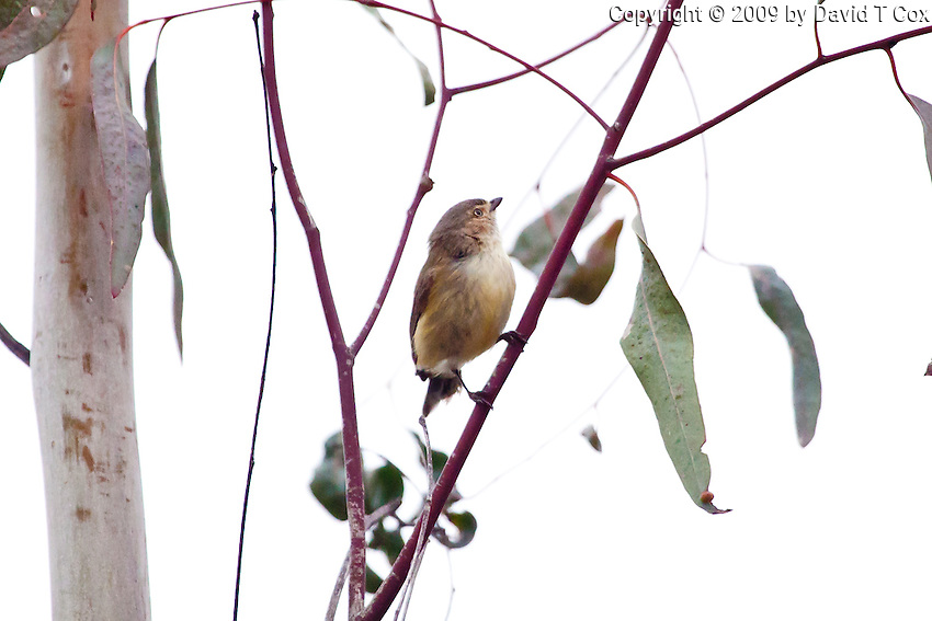 Buff-Rumped Thornbill, Darling River by Wilcania Caravan Pk, NSW, Australia