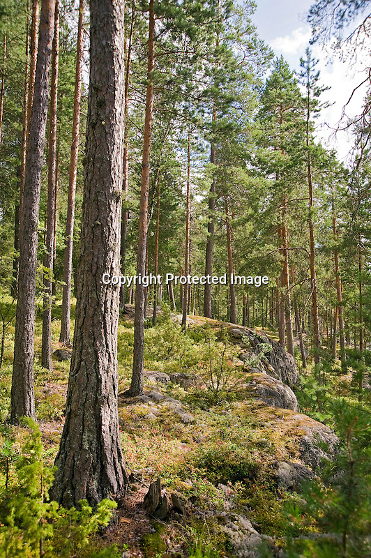 Tall Trees and Bedrock under Summer Sun in Forest in Rural Finland