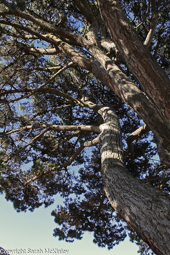 A tree reaches up toward the sky in the Old Town part of Eureka in Humboldt County in Northern California.