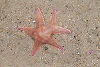 Nordischer Kammstern, mit einem gegabelten Arm, Regeneration, Seestern, Astropecten irregularis, Astropecten muelleri, Sand sea star, Sand Star, starfish, starfishes, sea-star, seastar, sea-stars, Seesterne