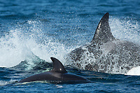 killer whale or orca, Orcinus orca, Bigg's orca, aka transient orca, Palos Verdes, California, USA, Pacific Ocean
