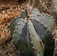 Desert and Arid Lands Glasshouse, 1930s, Jardin des Plantes, Museum National d'Histoire Naturelle, Paris, France. Detail of Astrophytum myriostigma plant.