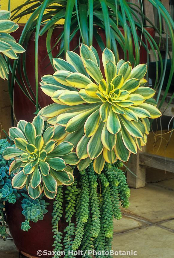 Variegated bold foliage succulent, Aeonium 'Sunburst' in container in Patrick Anderson garden