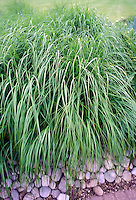 Achnatherum calamagrostis aka Stipa calamagrostis (Silver Spike Grass) foliage, full plant habit