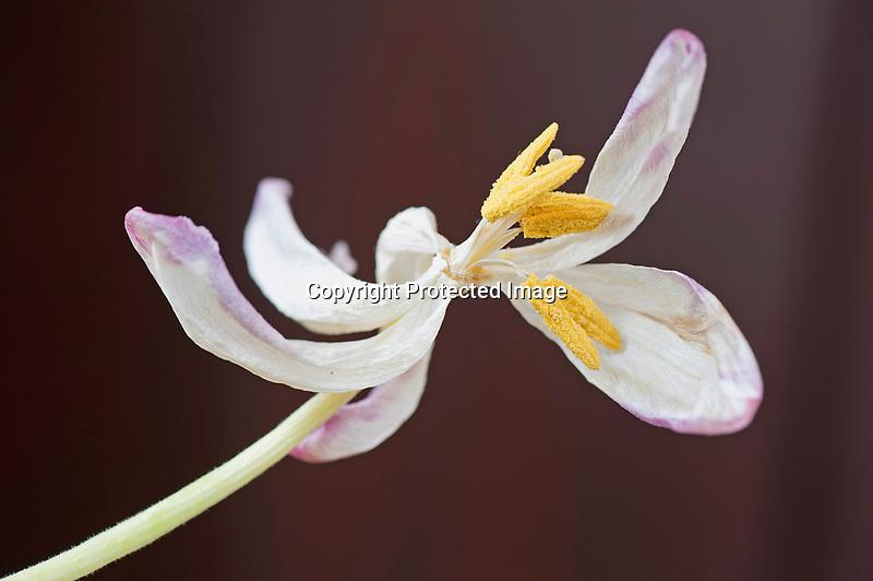 Flying Pink Tulip