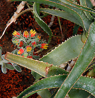 Desert and Arid Lands Glasshouse, 1930s, Jardin des Plantes, Museum National d'Histoire Naturelle, Paris, France. Detail of Echeveria Pilosa in flower seen from above an Aloe barbadensis plant.
