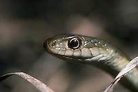 Garter Snake, Thamnophis sp.; Ohio