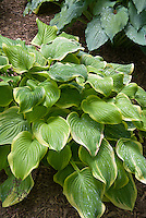 Hosta Fragrant Bouquet, variegated perennial for shade with cream white yellow edges, foliage shade plant
