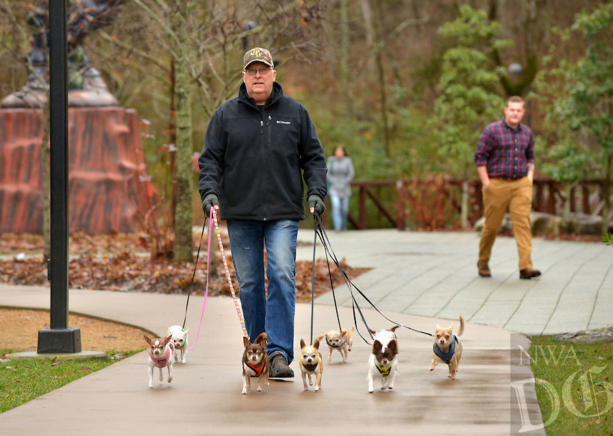 STAFF PHOTO BEN GOFF  @NWABenGoff -- 12/27/14 Tom Seay of Bentonville walks his eight chihuahuas on the trails at Crystal Bridges Museum of American Art in Bentonville on Saturday Dec. 27, 2014.