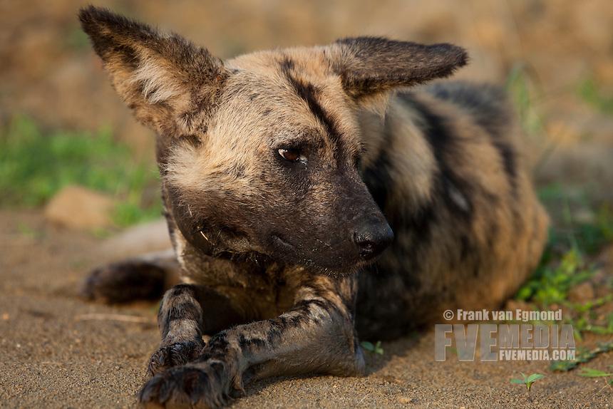 African Wild Dog (Lycaon pictus)...Endangered species..Resting...Hluhluwe Imfolozi Game Reserve..Kwazulu-Natal, South Africa..November 2010.