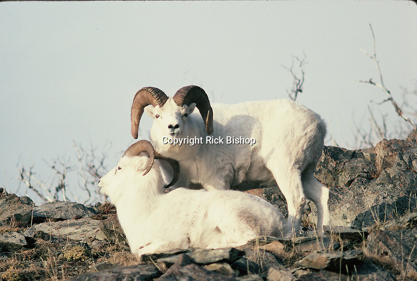 Dall Sheep Rams Seen on a ridge in Alaska in the fall.