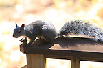 Western gray squirrel.  FB-S172.<br />