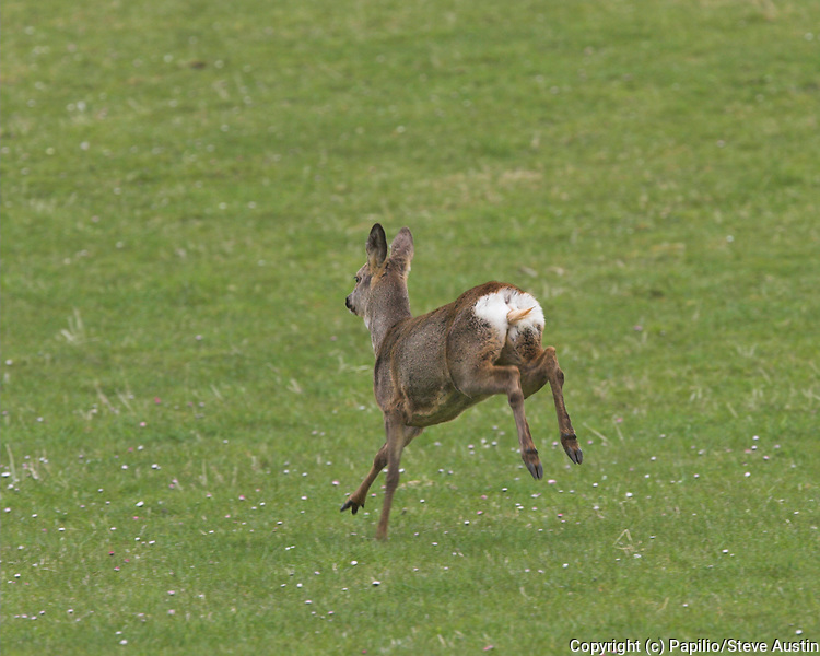 Roe deer, Capreolus capreolus, doe, running in field, Inverness-shire, Highland, female, white tail, leaping