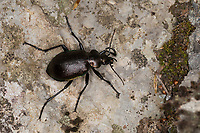 Kleiner Puppenräuber, Puppenräuber, Calosoma inquisitor, Lesser Searcher Beetle, Caterpillar-hunter, caterpillar hunter