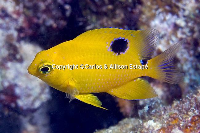 Stegastes planifrons, Threespot damselfish, juvenile, Florida Keys