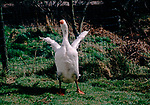 A911Y0 White Embden goose flapping its wings