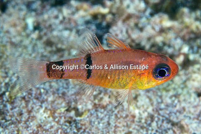 Apogon townsendi, Belted cardinalfish, Bonaire