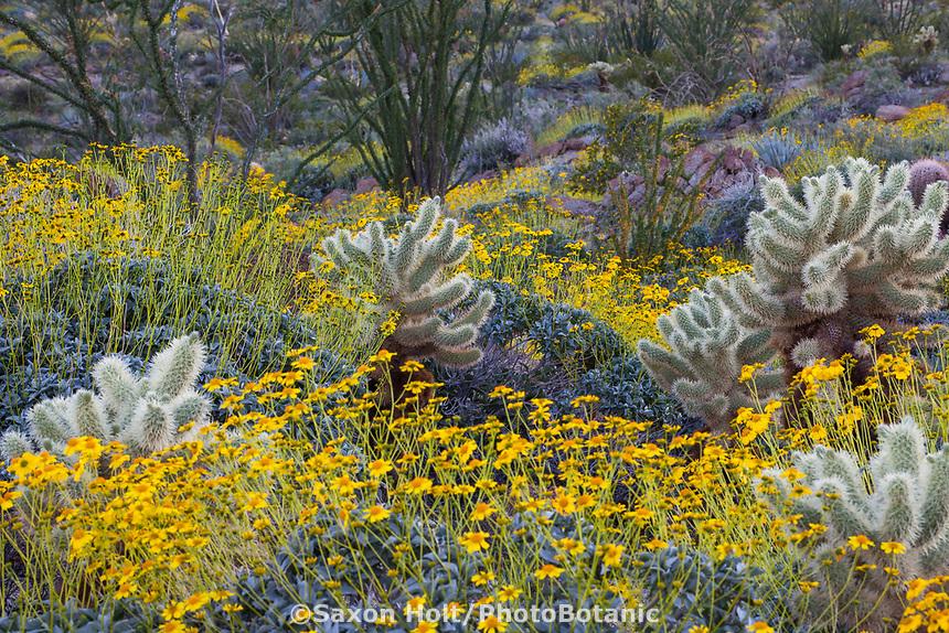Encelia farinosa, Brittlebush flowering shrub in Sonoran Desert at Anza Borrego California State Park with Cylindropuntia bigelovii, Teddybear Cholla cactus