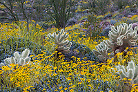 Encelia farinosa, Brittlebush flowering shrub in Sonoran Desert at Anza Borrego California State Park with Cylindropuntia bigelovii, Teddybear Cholla cactus