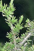 Cyprus Cedar Cedrus.. brevifolia (Height to 21m) Similar to Cedar of Lebanon C. libani.  Has dark-green needles shorter than those of other cedars (2cm), and crown is more open. Female cones, to 7cm long, ripen from purple-green to brown. Native of Troodos Mountains on Cyprus; sometimes grown in collections here.