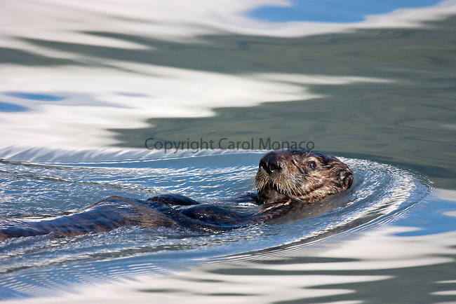 Sea otter swimming in the ocean in Alaska, with the water rippling around it as it swims
