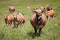 Europe/France/Midi-Pyrénées/12/Aveyron/Aubrac/Laguiole: Elevage Race Aubrac d' Alain Dijols ferme de Lacaune près de Laguiole