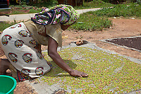 Zanzibar, Tanzania.  Woman Spreading Cloves to Dry in the Sun.