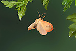Rosy Footman Moth, Miltochrista miniata, in flight, free flying, high speed photographic technique.United Kingdom....