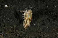 Bobbit, Eunice aphroditois, Lembeh Strait, North Sulawesi, Indonesia,