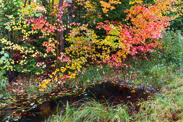 Maple tree and foresst in fall color along a pond; Northern Highland-American Legion State Forest. Vilas County, WI