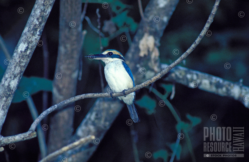 Collared Kingfisher, Ofu, American Samoa