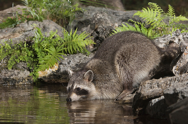 Northern Raccoon, Procyon lotor, adult drinking from spring fed pond with fern, Uvalde County, Hill Country, Texas, USA, April 2006