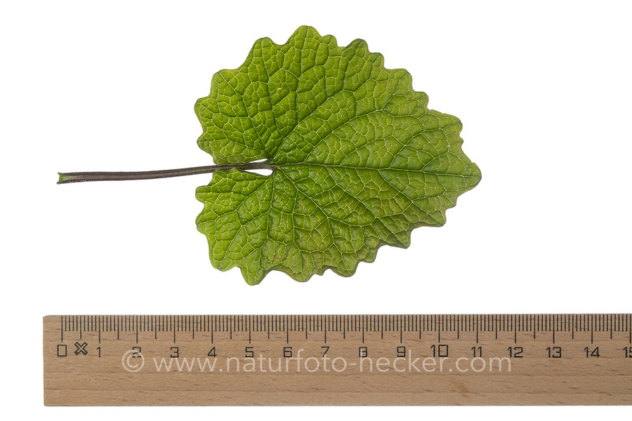 Gewöhnliche Knoblauchsrauke, Knoblauchsrauke, Knoblauchrauke, Knoblauch-Rauke, Knoblauchs-Rauke, Lauchkraut, Knoblauchskraut, Knoblauchhederich, Knoblauchshederich, junge, zarte Blätter vor der Blüte, Alliaria petiolata, Hedge Garlic, Jack-by-the-Hedge, Garlic Mustard, garlic root, Alliaire, L'Alliaire officinale, Herbe à ail. Blatt, Blätter, leaf, leaves
