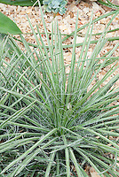 Schott's Century Plant Agave schottii