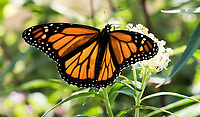 For the past 18 years Rose Tanner has been raising butterflies, mostly monarchs but also black swallowtails, red admirals and cabbage whites.