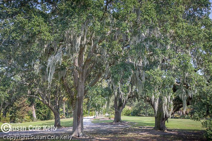 Airlie Gardens Live oaks, Wilmington, NC