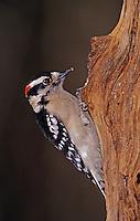 Downy Woodpecker, Picoides pubescens, male, Burlington, North Carolina, USA, January 2005