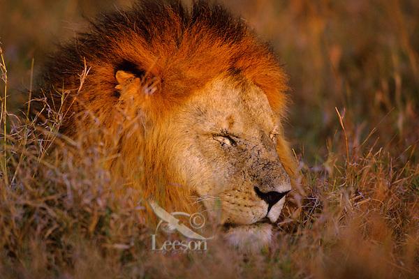 African lion (Panthera leo) male, Masai Mara National Reserve, Kenya.