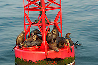 677880001 a group of wild harbor seals phoca vitulina sunbathe on a harbor bouy in ventura harbor ventura county california