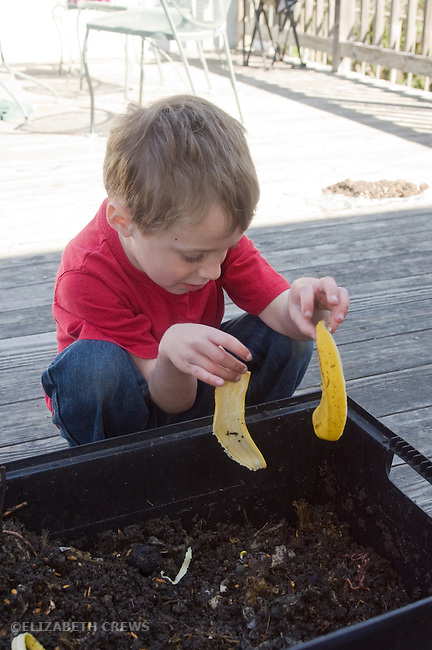 Berkeley CA Boy, four, introducing banana peels into rotting organic material for worms to turn into compost (vermicompost)  MR