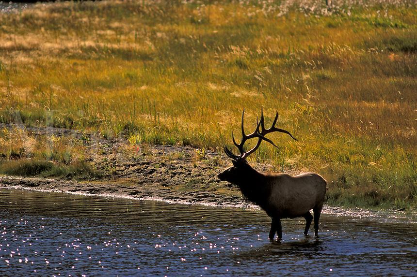 Elk (Cervus elaphus) in the stream