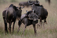 Wildebeest outside Robanda in Tanzania.