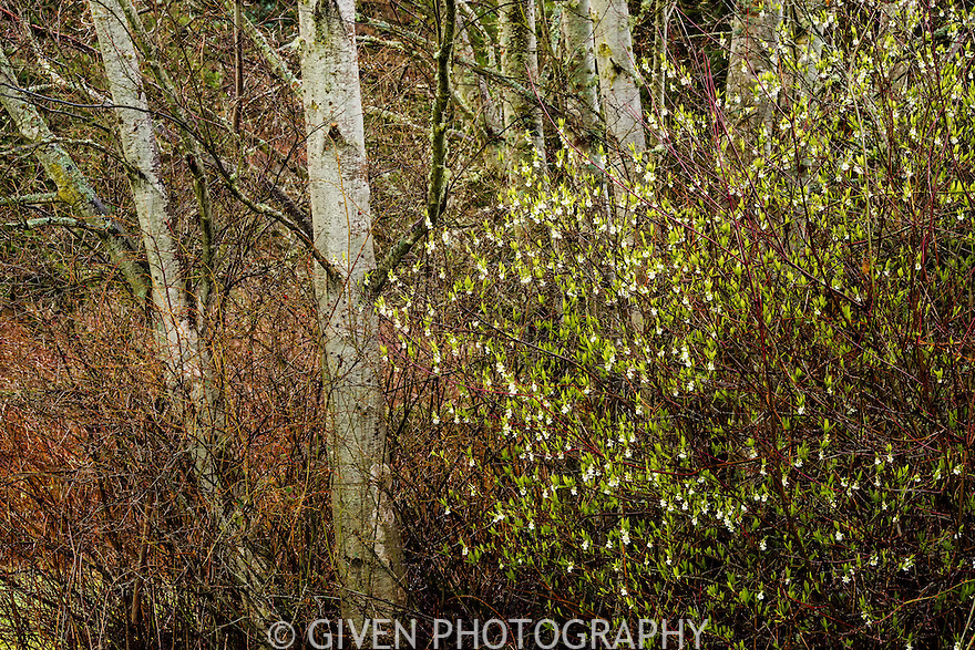 Indian Plum and Red Alders, Washington