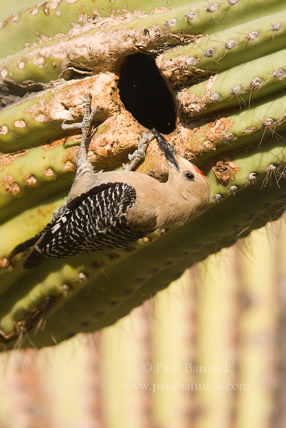 The eyes of two Gila Woodpecker chicks glow within a Saguaro cavity.  .