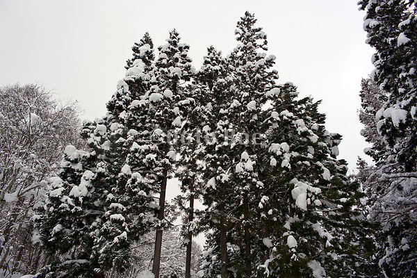 large pine trees covered with snow